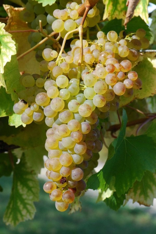 Colombard - white wine grape vines