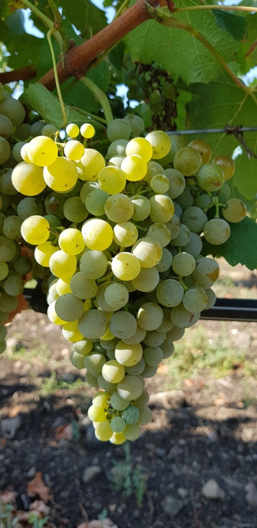 Semillon - white wine grape vines