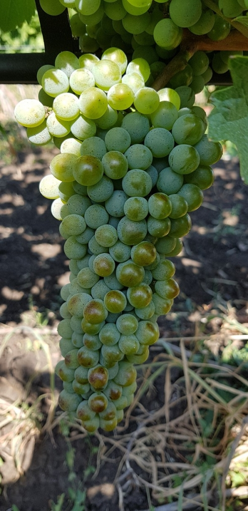Chenin blanc - wine white grape vines